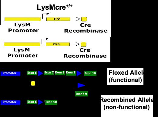 LysMcre